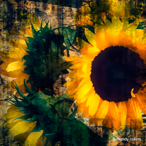 Glorious_Sunflowers